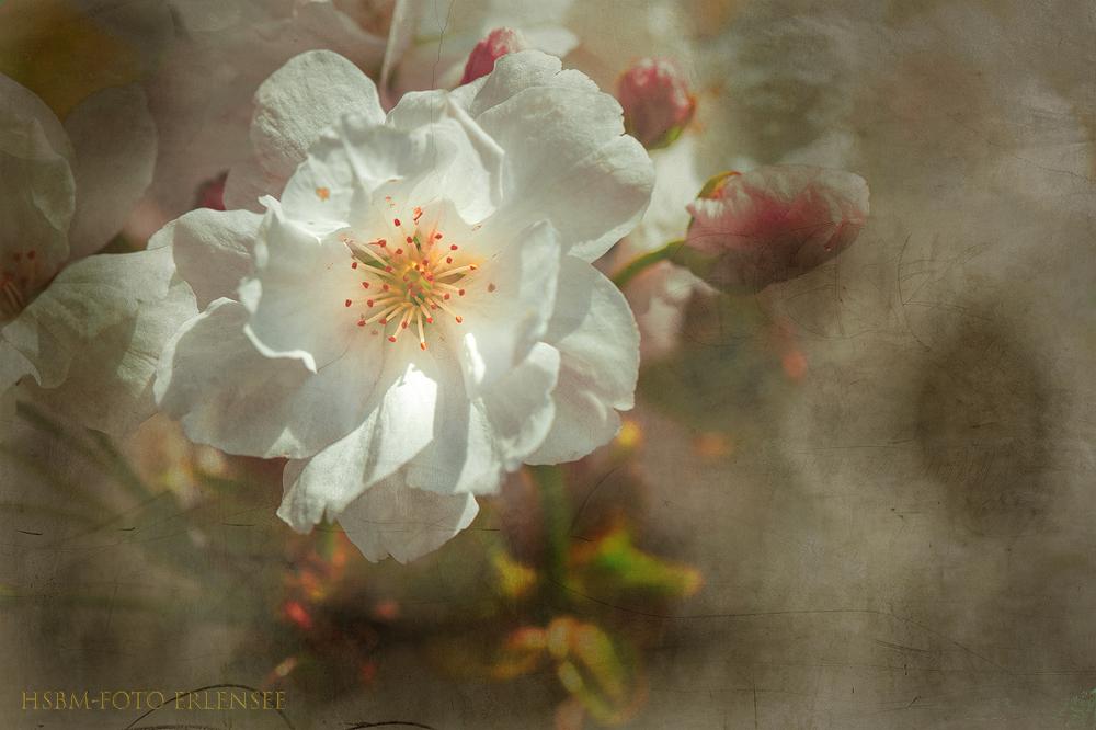 You are currently viewing Kirschblüte mit geändertem Hintergrund