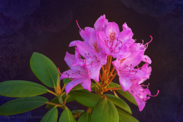 Rhododendron aus unserem Garten